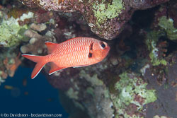 BD-120424-Marsa-Alam-6322-Myripristis-murdjan-(Forskål.-1775)-[Pinecone-soldierfish.-Röd-soldatfisk].jpg
